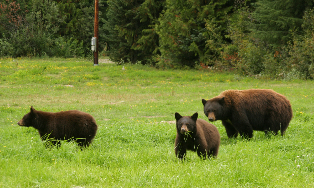 B.C. judge sets $60,000 fine on Whistler resident who deliberately fed bears to highlight deterrence