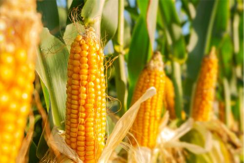 Climate change could decimate corn crop – study
