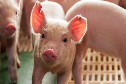Chinese insurers hit hard by swine fever