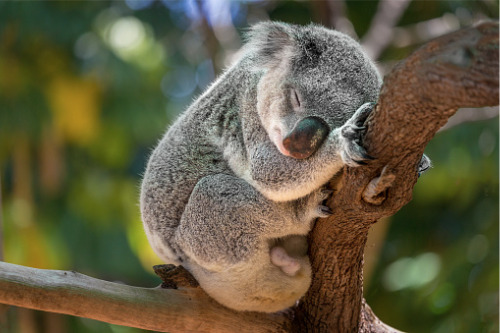 RACQ initiative raises $70,000 to future-proof koalas