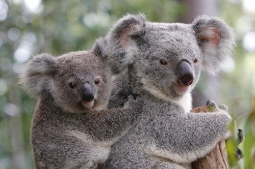 RACQ launches donation drive to future-proof koalas