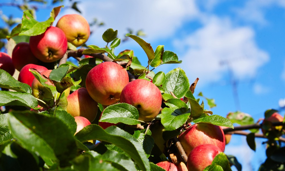 Quebec apple growers doubt effectiveness of protective clothing: Report